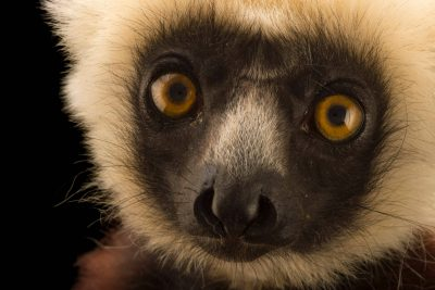 An endangered Coquerel's sifaka, Propithecus coquereli, at Lemuria Land.