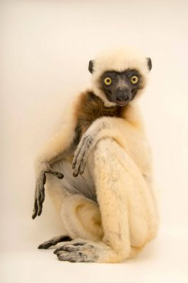 Photo: An endangered Von der Decken's sifaka, Propithecus deckenii, at Lemuria Land.