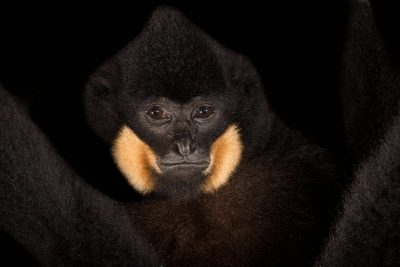 Picture of an endangered male yellow cheeked gibbon (Nomascus gabriellae) at the Singapore Zoo.