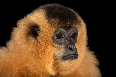 Picture of an endangered female yellow-cheeked gibbon (Nomascus gabriellae) at the Singapore Zoo.