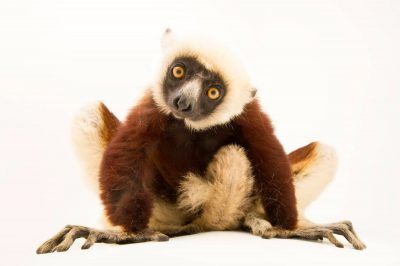An endangered Coquerel's sifaka (Propithecus coquereli) at Lemuria Land.