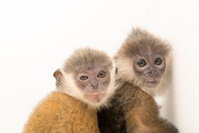 Photo: A pair of rescued baby Indochinese silver langurs (Trachypithecus germaini) at the Angkor Centre for Conservation of Biodiversity (ACCB) in Siem Reap, Cambodia.