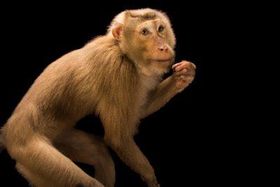 Photo: A subadult northern pig-tailed macaque (Macaca leonina) at ACCB in Siem Reap, Cambodia.