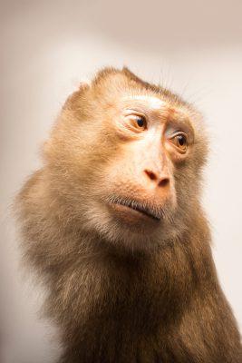Photo: Subadult northern pig-tailed macaque (Macaca leonina) at ACCB in Siem Reap, Cambodia.