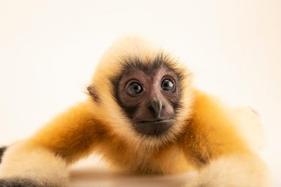 Photo: A critically endangered juvenile white cheeked-gibbon (Nomascus leucogenys) at the Omaha Zoo.