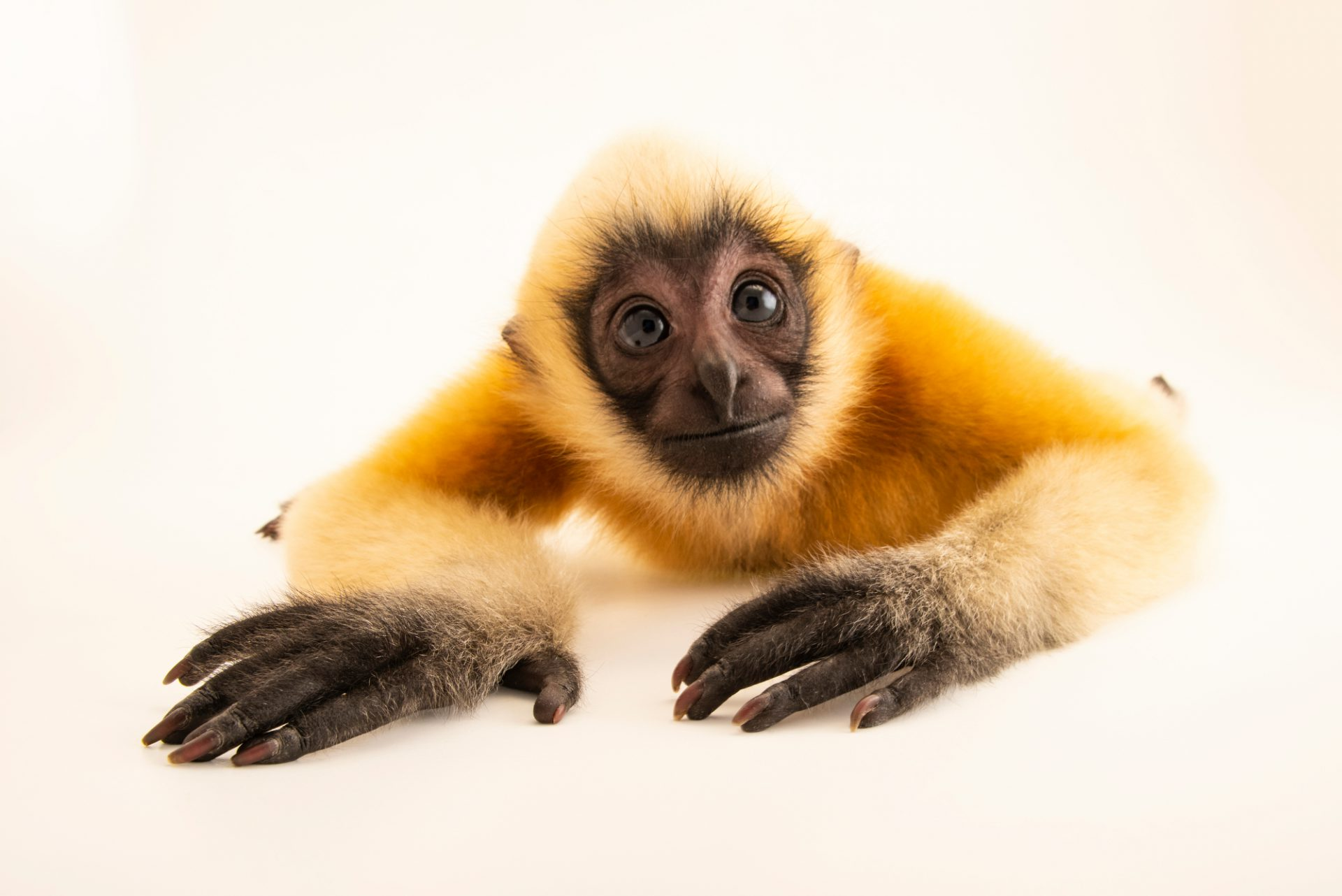 Photo: A critically endangered juvenile northern white cheeked-gibbon (Nomascus leucogenys) at Omaha's Henry Doorly Zoo and Aquarium.