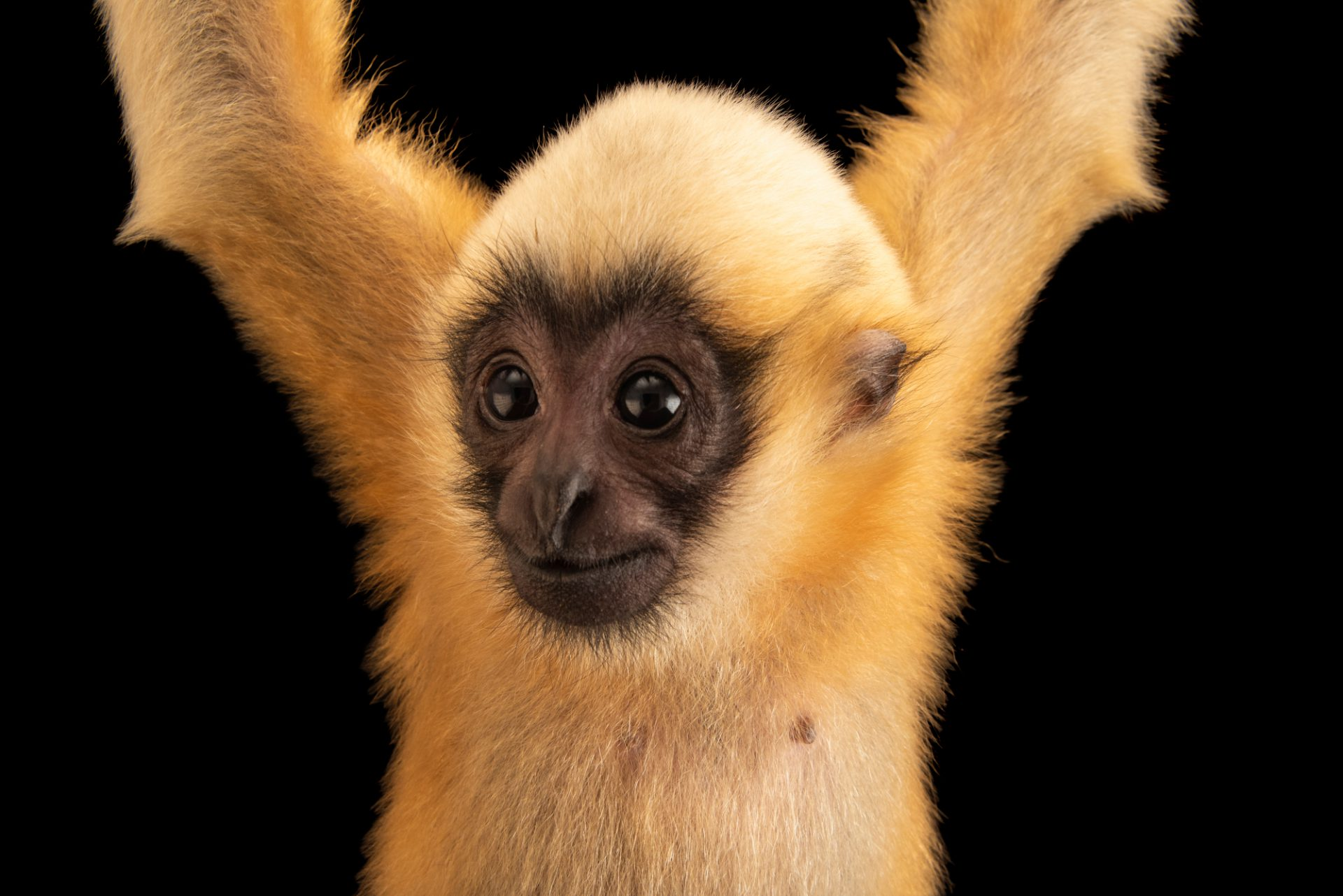 Photo: A critically endangered juvenile white cheeked-gibbon (Nomascus leucogenys) at Omaha's Henry Doorly Zoo and Aquarium.