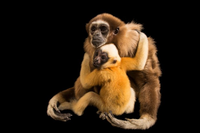 Photo: A critically endangered juvenile northern white cheeked-gibbon (Nomascus leucogenys) and its surrogate mother, an endangered white-handed gibbon (Hylobates lar) at Omaha's Henry Doorly Zoo and Aquarium.