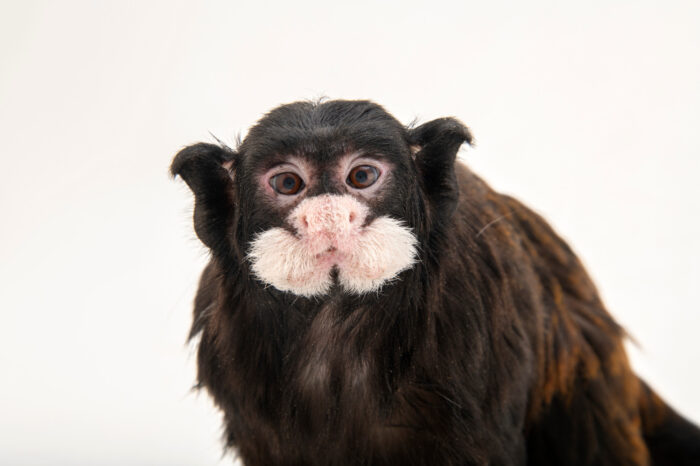 Photo: A male moustached tamarin (Saguinus mystax) at the Prague Zoo.