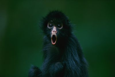 Photo: This orphaned black-faced spider monkey, named Pulgoso, is full of surprise.