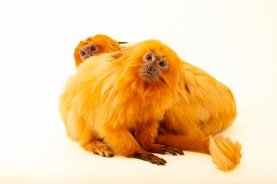 Photo: Two endangered golden lion tamarins (Leontopithecus rosalia) at the Lincoln Children's Zoo.