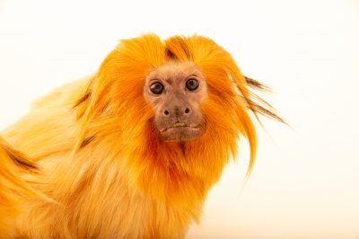 Photo: An endangered golden lion tamarin (Leontopithecus rosalia) at the Lincoln Children's Zoo.