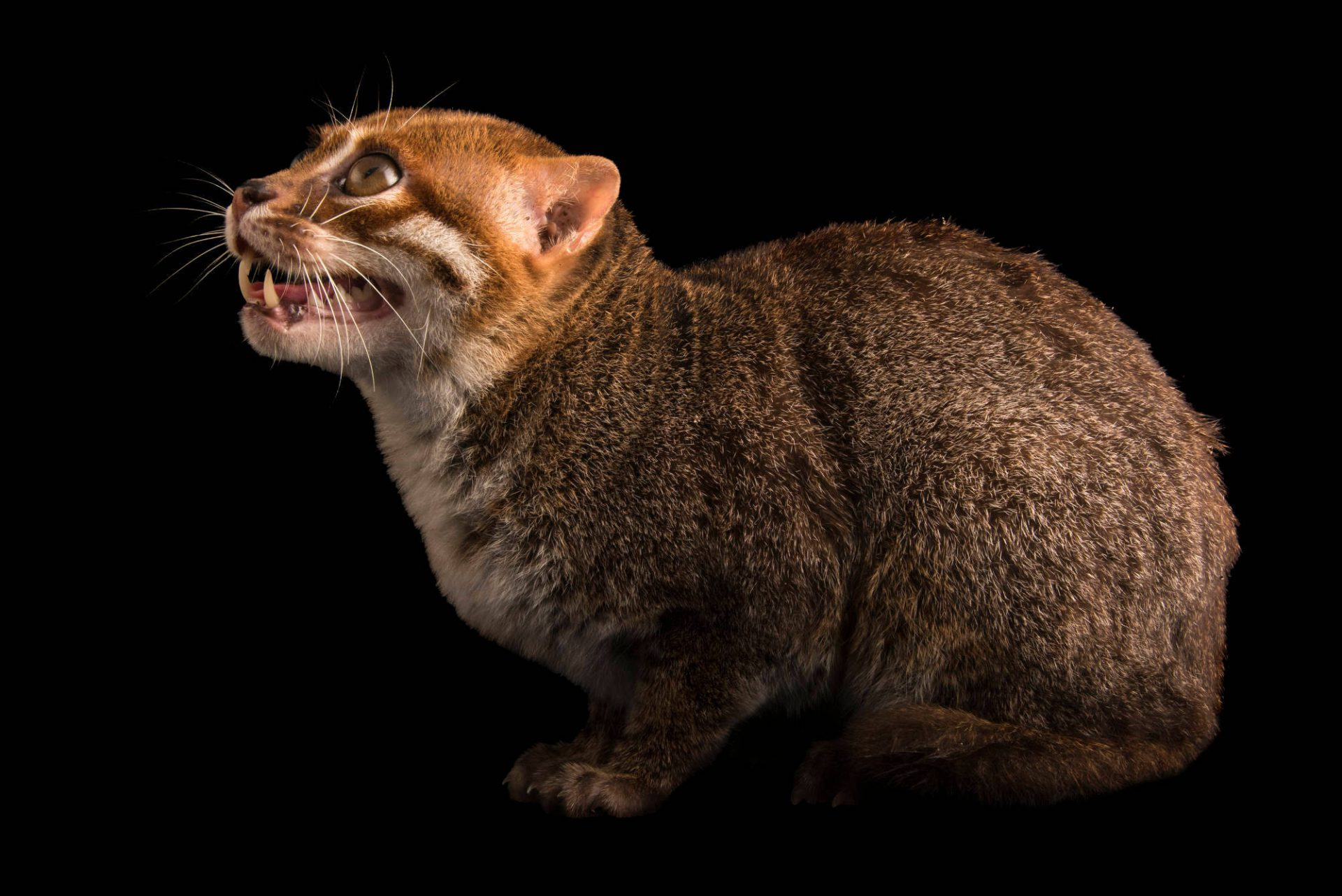 Photo: An endangered flat-headed cat (Prionailurus planiceps) at the Taiping Zoo.