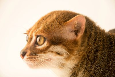 Photo: A flat-headed cat (Prionailurus planiceps) at the Taiping Zoo.