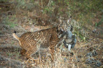 At La Olivilla, an Iberian lynx breeding center near Santa Elena, Spain. Here the animals are fed live rabbits in order to teach them how to stalk/hunt and kill prey.
