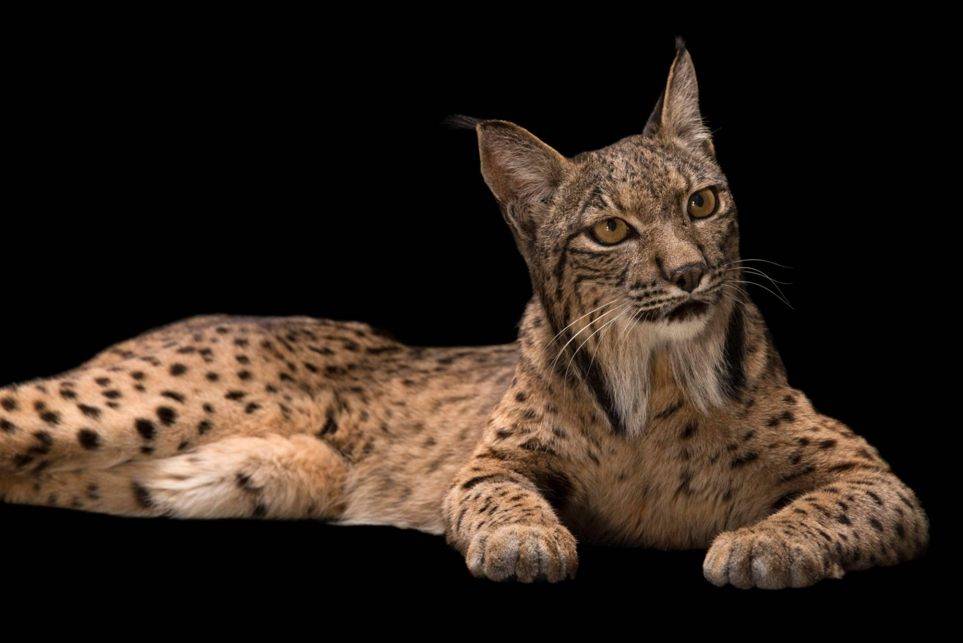 Picture of an endangered Iberian lynx (Lynx pardinus) at the Madrid Zoo.