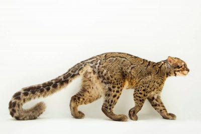 A portrait of a marbled cat (Pardofelis marmorata marmorata).