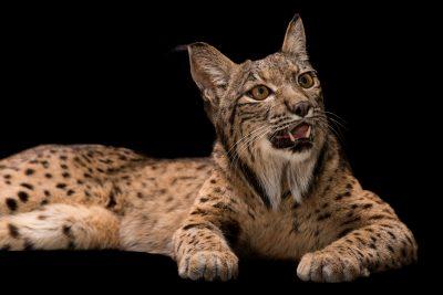 Photo: An endangered Iberian lynx (Lynx pardinus) at the Madrid Zoo.