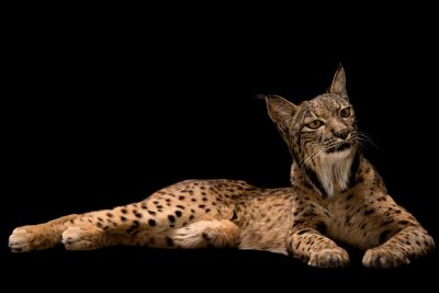 Photo: An endangered Iberian lynx (Lynx pardinus) at the Madrid Zoo.
