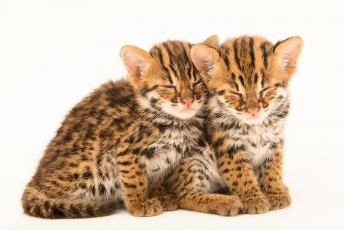 A pair of four-week-old old Asian leopard cats, (Prionailurus bengalensis bengalensis). These two were found abandoned by their mother in a burning field and brought to the Angkor Centre for Conservation of Biodiversity (ACCB), a wildlife rehab center in Siem Reap, Cambodia.