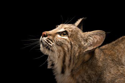 Photo: Southwestern bobcat (Lynx rufus baileyi) at Southwest Wildlife Conservation Center.
