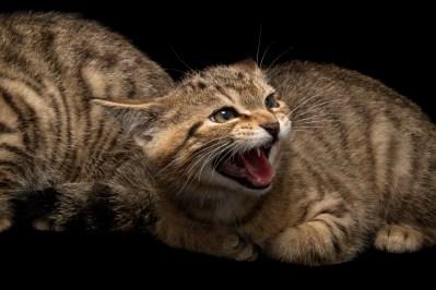 Photo: Scottish wildcats (Felis silvestris grampia) at Wildcat Haven.
