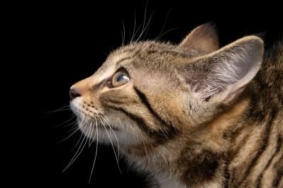 Photo: Scottish wildcat (Felis silvestris grampia) at Wildcat Haven.