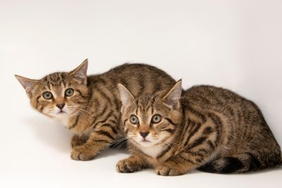 Photo: Scottish wildcats (Felis silvestris grampia) at Wildcat Haven.