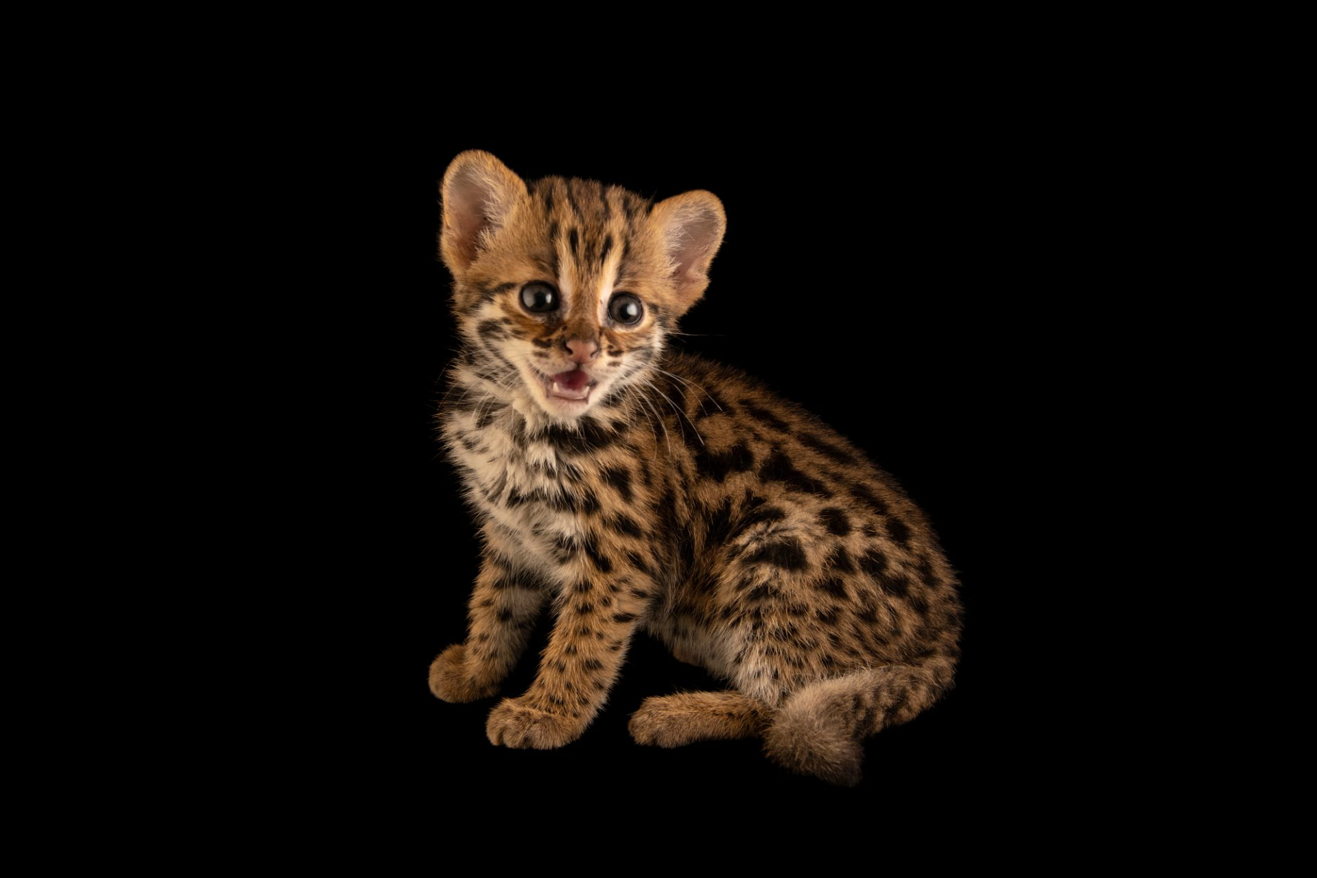 Photo: Asian leopard cat kitten (Prionailurus bengalensis bengalensis) at the Angkor Centre for Conservation of Biodiversity (ACCB) in Siem Reap, Cambodia.