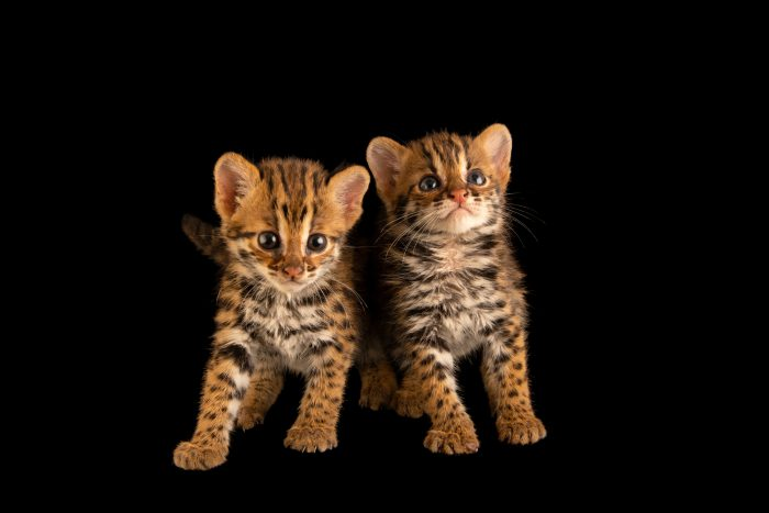 Photo: A pair of four-week-old old Asian leopard cats, (Prionailurus bengalensis bengalensis). These two were found abandoned by their mother a couple days ago in a burning field and brought to the Angkor Centre for Conservation of Biodiversity (ACCB), a wildlife rehab center in Siem Reap, Cambodia.