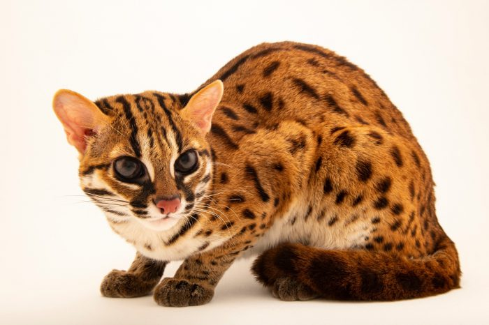 Photo: Visayan leopard cat (Prionailurus bengalensis rabori) at the Avilon Zoo. This species is listed as vulnerable on the IUCN red list.