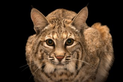 Photo: Southwestern bobcat (Lynx rufus baileyi) at Southwest Wildlife Conservation Center.