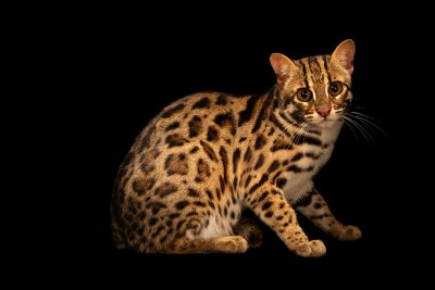 Photo: An Asian leopard cat (Prionailurus bengalensis bengalensis) at the Angkor Centre for Conservation of Biodiversity (ACCB) in Siem Reap, Cambodia.