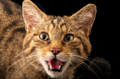 Photo: A Scottish wildcat, Felis silvestris grampia, at Wildwood Trust near Canterbury, England.