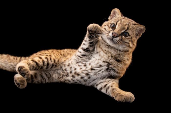 Photo: A guiña (Leopardus guigna tigrillo) whose name is Pikumche from Fauna Andina in central-south, Chile.