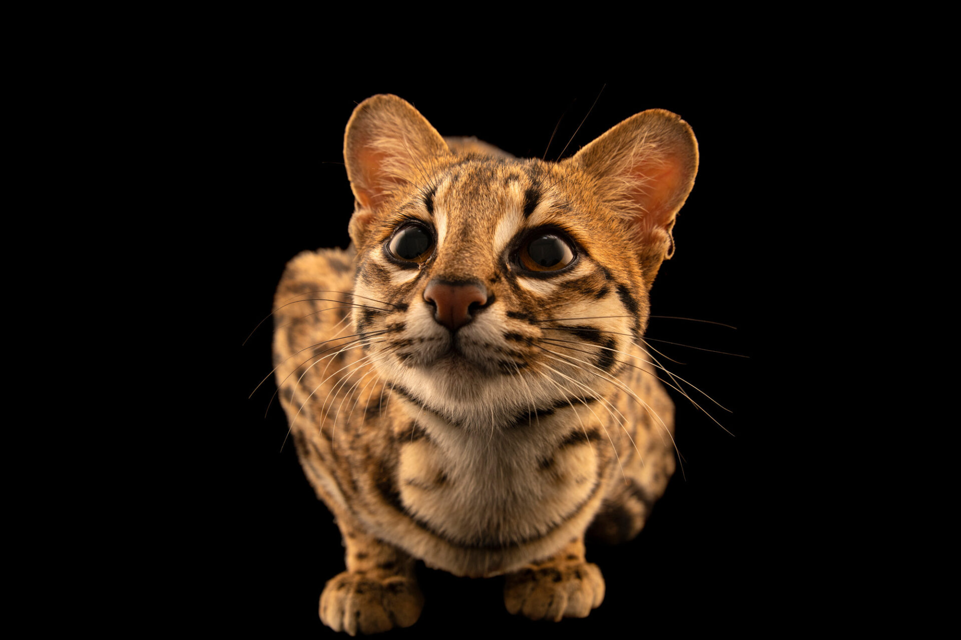 Photo: A female Southern oncilla or tiger cat (Leopardus guttulus) at Fundacao Jardim Zoologico de Brasilia.