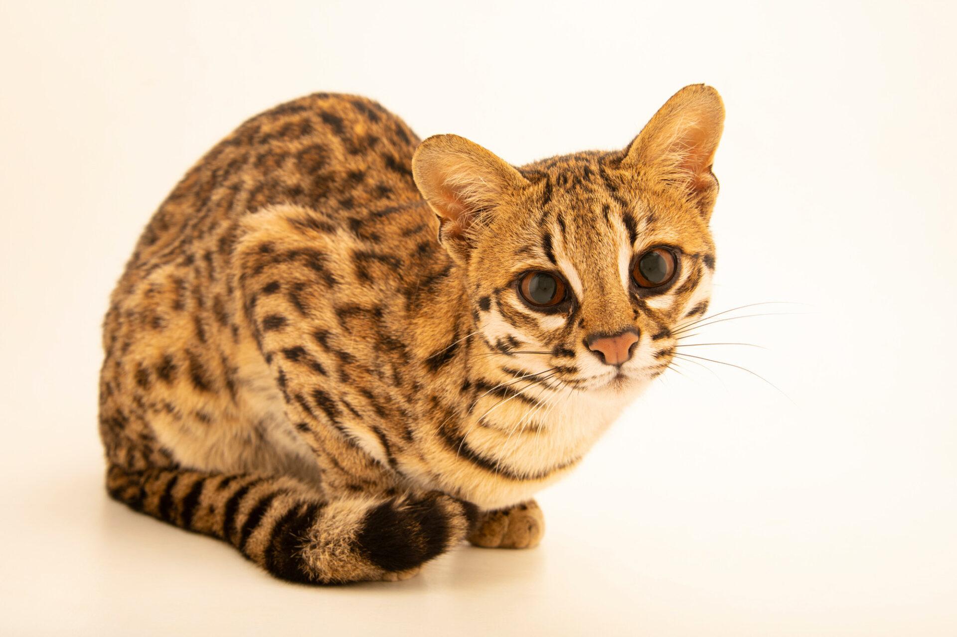 Photo: A female Southern oncilla or tiger cat (Leopardus guttulus) at Fundacao Jardim Zoologico de Brasilia.