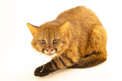 Photo: A Pampas cat or colocolo (Leopardus colocolo braccatus) at Fundacao Jardim Zoologico de Brasilia.