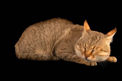 Photo: A Gordon's wildcat (Felis lybica gordoni) at Zoopark Zajezd.