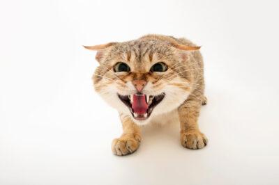 Photo: A Gordon's wildcat (Felis lybica gordoni) at Zoopark Zajezd.