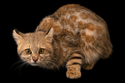 Photo: A female Colocolo or pampas cat (Leopardus colocolo colocolo) at Unidad de Rehabilitación de Fauna Silvestre.