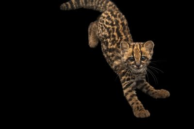 Photo: A four-month old oncilla (Leopardus tigrinus pardinoides) at Huachipa Zoo in Lima, Peru.