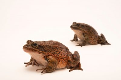 Picture of two vulnerable (IUCN) and federally threatened California red-legged frogs (Rana draytonii) at the Monterey Bay Aquarium.