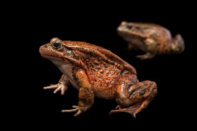 Picture of two vulnerable California red-legged frogs (Rana draytonii) at the Monterey Bay Aquarium.