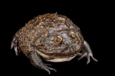 A Budgett's frog (Lepidobatrachus asper) at Zoo Atlanta.