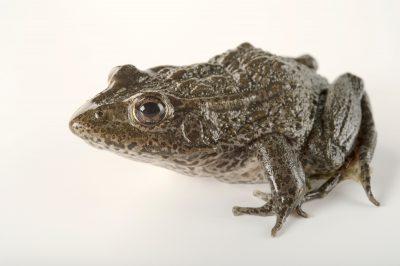 A critically endangered dusky gopher frog (Lithobates sevosus) at Zoo Atlanta.