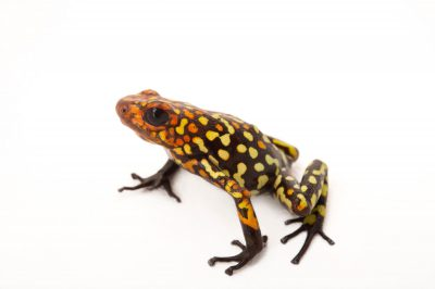 Picture of a harlequin poison frog (Oophaga histrionica) Buenaventura, Columbia locality, from a private collection.