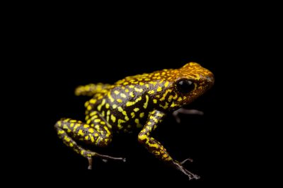 Picture of a harlequin poison frog (Oophaga histrionica) Anchicaya River, Colombia locality, from a private collection.