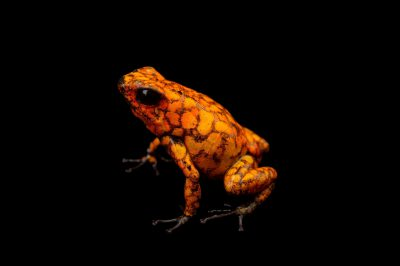 Picture of a diablito, also known as a little devil poison frog (Oophaga sylvatica) Alto Tambo, Ecuador locality, from a private collection.
