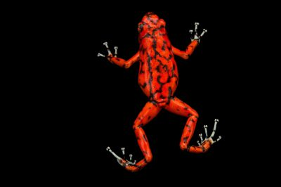 Picture of a diablito, also known as a little devil poison frog (Oophaga sylvatica) El Pangan, Colombia locality, from a private collection.